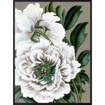 Vanilla Fly Large Peony Poster - White