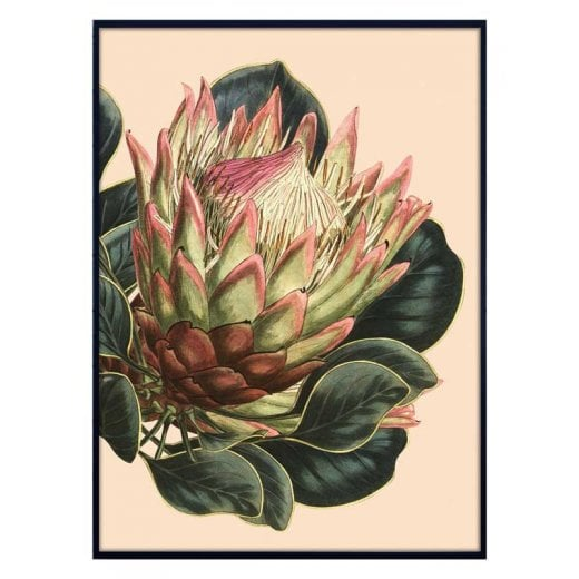 Vanilla Fly Large Protea Poster - Creme